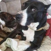 Adopt A Pet :: CORINA - Charlotte, NC