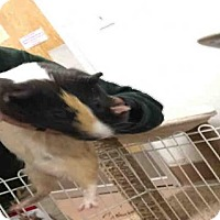 Guinea Pig for adoption in Plano, Texas - ZIPPER