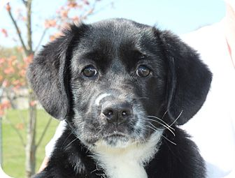 Labrador Retriever/Border Collie Mix Puppy for adoption in Brattleboro, Vermont - Blossom