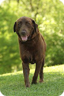 Labrador Retriever/Chesapeake Bay Retriever Mix Dog for adoption in Plainfield, Connecticut - Bull E. Dozer