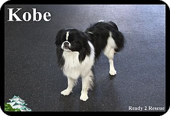 Japanese Chin Dog for adoption in Rockwall, Texas - Kobe
