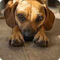 Adopt A Pet :: Reilly - San Francisco, CA