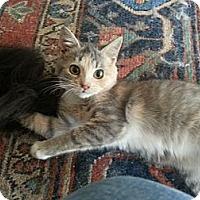 Adopt A Pet :: Mia (Kitten Cutie) - Arlington, VA