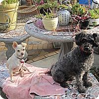 Adopt A Pet :: Molly Miu - Culver City, CA