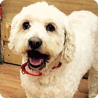 Adopt A Pet :: Snowy - Nanuet, NY