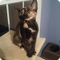 Adopt A Pet :: Gypsy bobtail dilute tortie - McDonough, GA