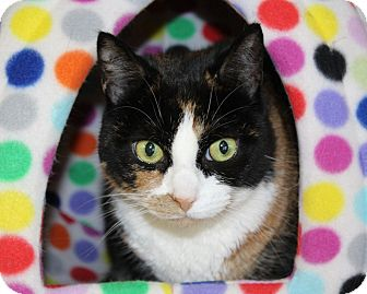 Calico Cat for adoption in Rochester, New York - Gypsy