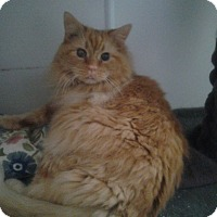 Adopt A Pet :: Long Hair Orange - Chesterfield, VA