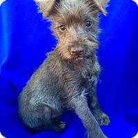 Adopt A Pet :: Tiger Lily Puppy - Encino, CA