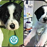 Adopt A Pet :: Farrah - Kimberton, PA
