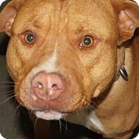 American Pit Bull Terrier Dog for adoption in Fulton, Missouri - Blaze *Kentucky