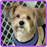 Adopt A Pet :: Bengi - Hollywood, FL