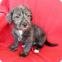 Adopt A Pet :: Bobby - Studio City, CA