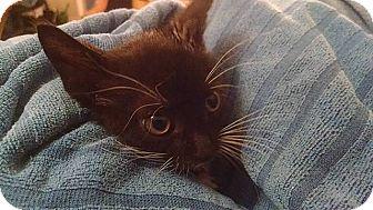 Domestic Shorthair Kitten for adoption in Tampa, Florida - Edmund Pevensie