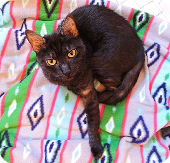 Exotic Cat for adoption in New York, New York - Sekhmet