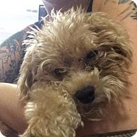 Adopt A Pet :: Harlee - Fort Lauderdale, FL