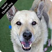 German Shepherd Dog Mix Dog for adoption in Cupertino, California - Little Prince T.