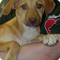 Adopt A Pet :: Willie Lab Mix Puppy Happy little Boy - Rowayton, CT