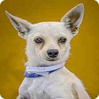 Adopt A Pet :: China Doll - San Marcos, CA