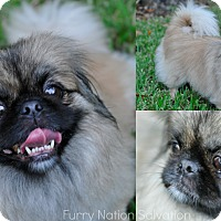 Adopt A Pet :: PEACHES Full bred Pekingese - New Smyrna Beach, FL