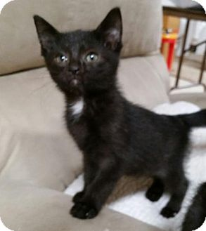 Domestic Shorthair Kitten for adoption in Taylor, Michigan - Chase