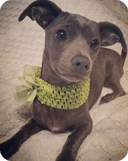 Dachshund/Chihuahua Mix Dog for adoption in Kenner, Louisiana - Winny