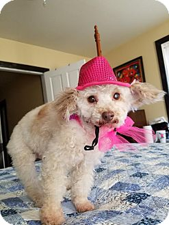 Poodle (Miniature) Dog for adoption in Spring City, Tennessee - Buttercup:Ballerina!
