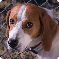 Adopt A Pet :: Devon - Fairfax, VA
