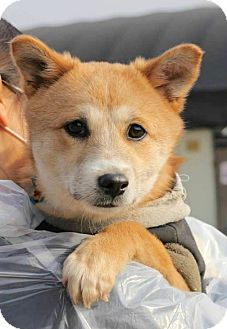 Smithtown Ny Spitz Unknown Type Medium Jindo Mix Meet Venus A Puppy For Adoption