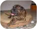 Bullmastiff Dog for adoption in Phoenix, Arizona - Otis