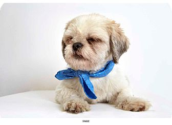 Shih Tzu Mix Dog for adoption in New York, New York - Shane