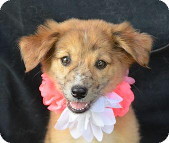 Sheltie, Shetland Sheepdog Mix Puppy for adoption in Plano, Texas - Shay