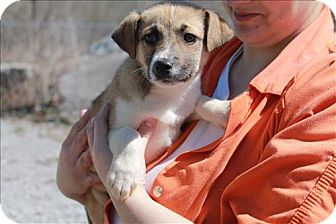 Labrador Retriever/Australian Shepherd Mix Puppy for adoption in Chicago, Illinois - Hattie