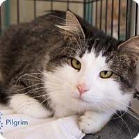 Adopt A Pet :: Pilgrim - Merrifield, VA