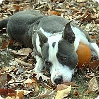 Adopt A Pet :: sage - Queenstown, MD