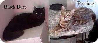 Domestic Shorthair Cat for adoption in San Andreas, California - Black Bart & Precious