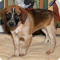 Adopt A Pet :: Dq litter - Rubicon - Livonia, MI