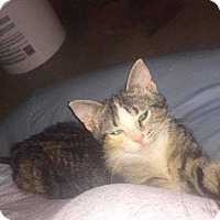 Domestic Shorthair Kitten for adoption in Mackinaw, Illinois - Healey