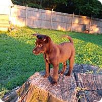 Adopt A Pet :: Bree - Flemington, NJ
