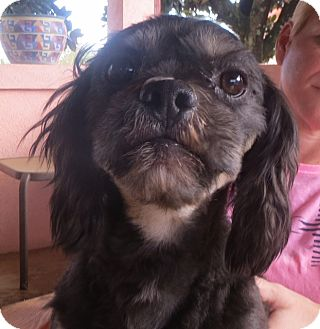 Lhasa Apso Mix Dog for adoption in Allentown, Pennsylvania - Bryson