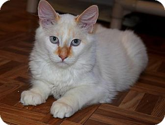 Siamese Kitten for adoption in Greeley, Colorado - Johnny