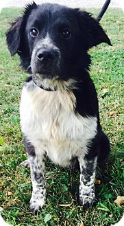 Border Collie Mix Dog for adoption in Texico, Illinois - Moose