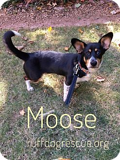 Corgi Mix Dog for adoption in Milton, Georgia - Moose