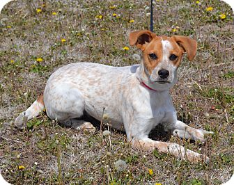 Australian Cattle Dog Mix Dog for adoption in Larned, Kansas - Ally