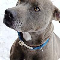 Pit Bull Terrier/Weimaraner Mix Dog for adoption in Douglas, Wyoming - Jade