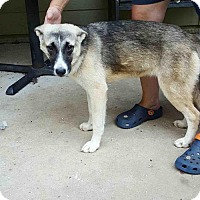 Adopt A Pet :: Eleni Gentle Young Pup and a Talker! - Rowayton, CT