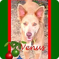 Adopt A Pet :: Venus - Friendswood, TX
