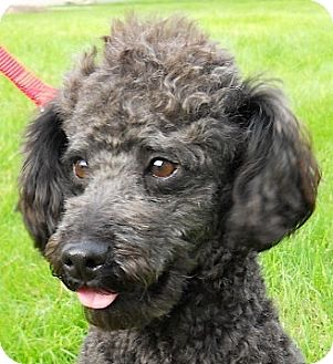 Miniature Poodle Dog for adoption in Kingwood, Texas - Riley
