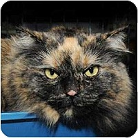 Domestic Longhair Cat for adoption in Verdun, Quebec - Charlize