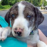 Adopt A Pet :: Iris - Richmond, VA